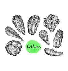 Ink sketch set lettuce vector