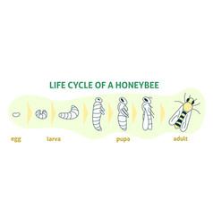 Life cycle a honey bee flat modern vector
