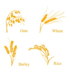 Ears of cereals vector image