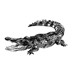 Hand sketch crocodile vector