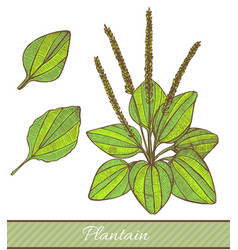 colored plantain in hand drawn style vector image