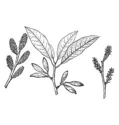 branch of corkwood vintage vector image
