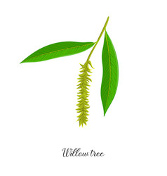 Drawing branch willow tree vector