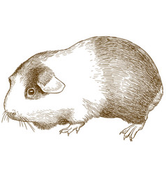 Engraving antique guinea pig vector