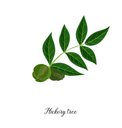 drawing branch hickory tree vector image