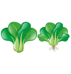 green spinach on white background vector image