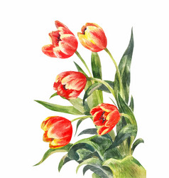 Watercolor bouquet of red tulips vintage vector