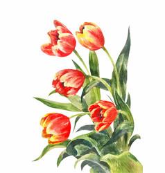 Watercolor bouquet red tulips vintage vector