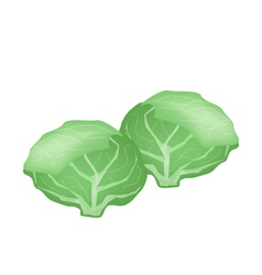 Fresh Green Cabbage on A White Background vector image