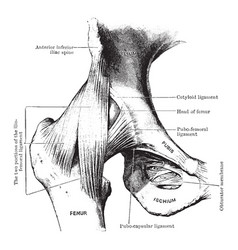 Dissection of hip joint from front vintage vector