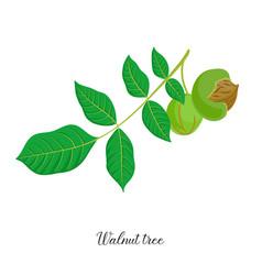 Drawing branch walnut tree vector