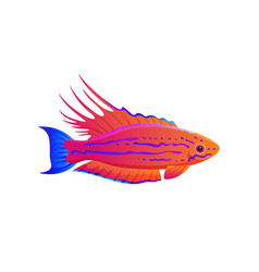 Filamented flasher wrasse exotic ocean fish banner vector