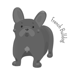French bulldog isolated on white vector image