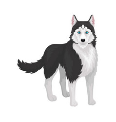 Siberian husky white and black purebred dog vector
