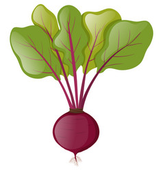 Beetroot plant with leaves vector