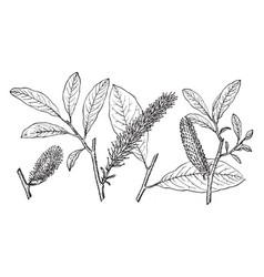 Branch of alaska willow vintage vector