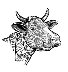 cow head close up in a graphic style vector image