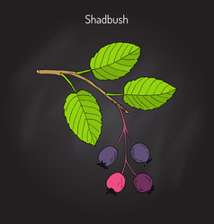 Amelanchier also known as shadbush shadwood or vector