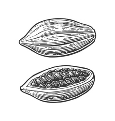 Fruits of cocoa beans vintage engraved vector