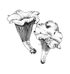 hand drawn chanterelle mushrooms vector image
