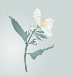 Twig jasmine flower and buds vector
