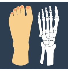 The flat design of the foot and the foot skeleton vector image
