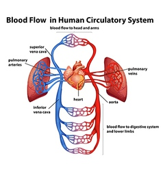 Blood flow in human circulatory system vector image