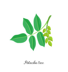 Drawing branch pistachio tree vector