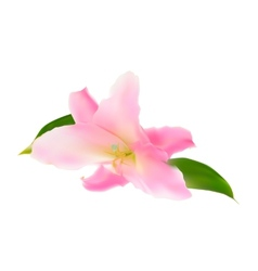 Realistic Pink Lily vector image