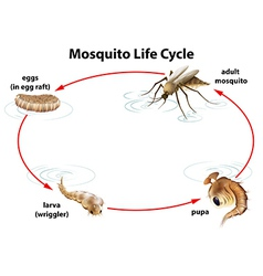 The life cycle of a mosquito vector image vector image