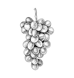 Hand drawn black and white grapes branch vector