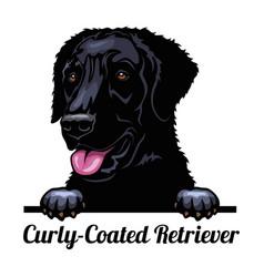 Peeking dog - curly-coated retriever - dog breed vector