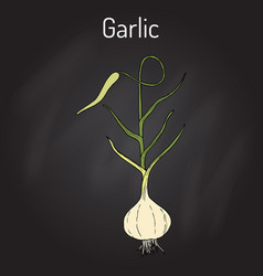 Garlic plant kitchen herbs collection vector