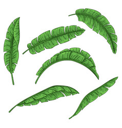 Tropical palm leaves set jungle banana leaf vector