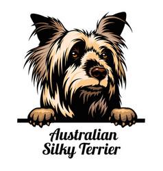 peeking dog - australian silky terrier - dog breed vector image