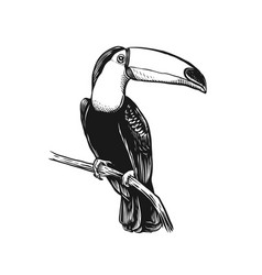 bird tucano line art vector image