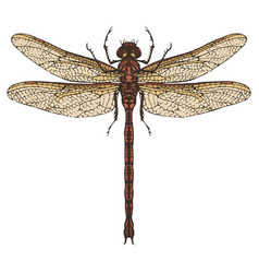 Realistic dragonfly close up top view vector