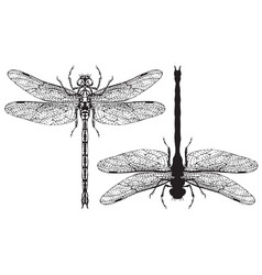 Black and white realistic dragonflys close up vector