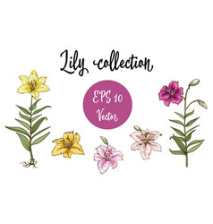 Flowers set of lilies isolated vector