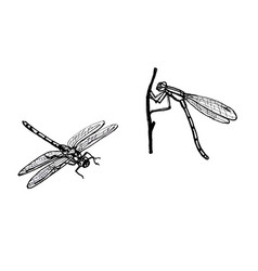 dragonfly line drawing vector image