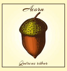 hand drawn acorn colored vector image
