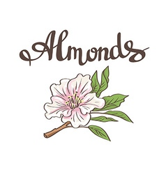 Almond flower hand drawn vector image
