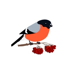 Bullfinch Isolated on White Background vector image