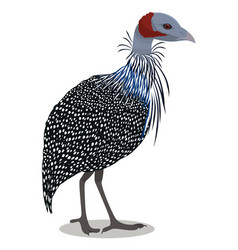 Vulturine guineafowl bird vector