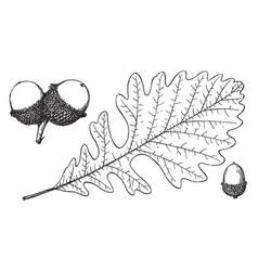 Branch of bur oak vintage vector