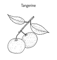 tangerine fruit citrus tangerina mandarin vector image