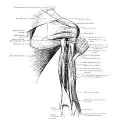 Back view of shoulder muscles vintage vector