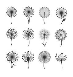 dandelion flowers with fluffy seeds black floral vector image