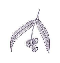 Drawing branch eucalypt tree vector