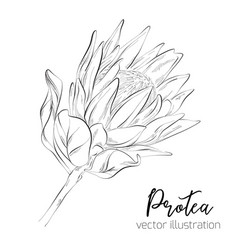 protea sketch floral botany collection vector image